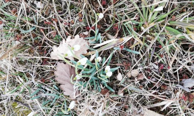Čubernice vítá jaro. Mávají sněženky a koniklece
