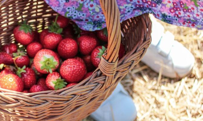 Na jahody vyrazíme až příští týden